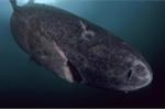 Những con cá mập 400 tuổi nắm giữ bí mật có thể quyết định tương lai loài người
