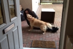 Chú chó mừng rỡ, đè chủ ra hôn tới tấp vì nhớ