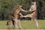 Clip: Kangaroo 'đấu võ' kịch tính tranh giành bạn tình