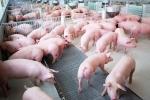 Lợn hơi giá bèo, vì sao dân thành phố vẫn mua đắt gấp 10 lần?