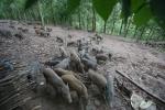 Thầy giáo Mường thu 800 triệu mỗi năm nhờ nuôi lợn bán hoang dã