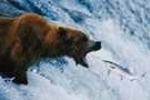 Thủ thuật bắt cá quái dị của gấu
