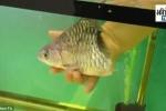 Sửng sốt chú cá mất nửa cơ thể vẫn bơi lội tung tăng, sống thêm 6 tháng