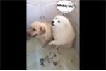Bị chủ hỏi tội, chú chó Samoyed nhanh nhảu 'bán đứng' bạn