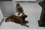 Hổ bị chó dạy dỗ, lủi thủi không dám đến gần