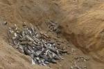 Phát hiện, tiêu hủy 20 tấn cá nhiễm độc do sự cố Formosa