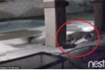 Sói trèo qua tường cao 2m, giết chết chó nhà