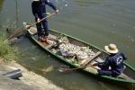 Cá chết bất thường nổi trắng kênh Phú Lộc