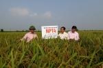 Nghiên cứu chọn tạo thành công giống siêu lúa NPT4, NPT5