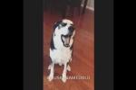Chó Husky trừng mắt, cãi chủ 'chem chẻm' khiến dân mạng phì cười