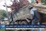 Bắc Ninh chặt hạ cây sưa 200 tuổi, bán giá 26 tỷ đồng