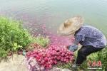 Đến lượt nông dân Trung Quốc đổ thanh long xuống ao