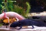 Rộ mốt cá khủng long 6 sừng 4 chân