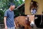 Chú bò làm rung động lòng người trong lũ dữ miền Trung giờ ra sao?