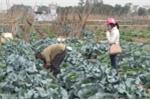 Giật mình khi xem 'rau sạch' được tưới nước thải độc hại tại Hà Nội
