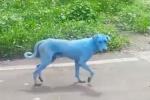 Video: Đàn chó hoang biến thành màu xanh kỳ dị ở Ấn Độ