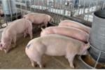 Hàng loạt công ty dùng chất gây ung thư trong chăn nuôi