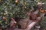 Hà Nội: Quất bonsai hình gà gây sốt thị trường Tết Đinh Dậu