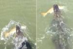Clip: Cá sấu háu ăn cướp cá 'khủng' của ngư dân