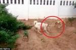 Chó hợp sức cắn đứt đôi rắn hổ trâu dài 1,5m cứu chủ