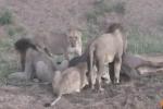 Đàn sư tử đánh nhau giành ăn, trâu rừng thoát chết ngoạn mục