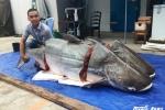 Ngư dân Lào bắt được cá tra nặng 200kg chuyển về Sài Gòn bán