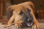 Nga tặng Pháp chó nghiệp vụ thay thế chú chó hi sinh khi bắt khủng bố