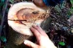Cảnh tượng phá hoại nghiêm trọng rừng lim xanh ở đông bắc dãy Yên Tử