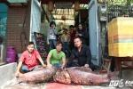 Cặp cá hô đỏ khổng lồ cực hiếm giá 350 triệu 'đầu quân' phục vụ khách Hà Nội