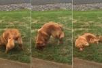 Chú chó đào hố trong vườn bị chủ phát hiện và cái kết hài 'té ghế'