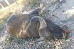 Bò tót rừng nặng 800kg lao đầu vào xe tải chết tại chỗ