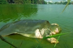 Video: 'Cụ rùa' Hồ Gươm nổi lên năm 2012