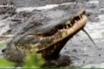 Cá sấu khổng lồ truy sát, ăn thịt đồng loại ở Mỹ gây sốc