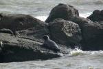 Hải cẩu xứ lạnh lại bơi lạc vào biển Bình Thuận
