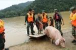 Trung Quốc: Mưa lớn kéo dài, lợn 150 kg bị cuốn trôi hàng chục km