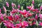 Cận Tết, hoa ly loạn giá