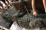 Cận cảnh cá sấu 70kg, dài gần 3m bắt được ở Hà Nội