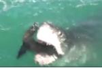 Cá mập trắng khổng lồ hung dữ đớp ngang người hải cẩu khiến người xem hoảng loạn