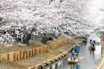Tobu_Cherry Blossom_VTC_anh 2