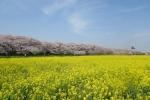 Tobu_Cherry Blossom_VTC_anh 3