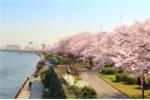 Tobu_Cherry Blossom_VTC_anh 1