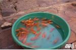 Cúng ông Công, ông Táo: Tiểu thương bán tạ cá mỗi ngày