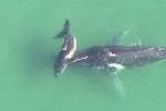 Cảm động clip cá voi con dìu mẹ thoát khỏi vùng mắc cạn