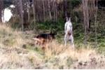 Video: Chó chăn cừu hỗn chiến kangaroo, cảnh sát phải vào cuộc