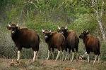 Có một 'vương quốc bò tót' ở Việt Nam