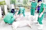 Sau mưa lũ, Hà Tĩnh tiêu hủy hơn 1.000 con heo tai xanh