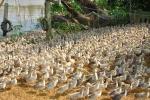 Rùng mình xác hàng trăm con gà bệnh bị vứt la liệt dưới kênh