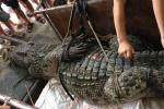 Cận cảnh cá sấu 70kg bắt được ở Hà Nội