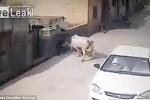 Bò 'điên' thản nhiên húc tung người trên đường phố Pakistan