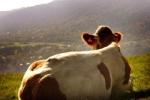 Nước tiểu bò: 'Thần dược' được săn lùng ở Ấn Độ